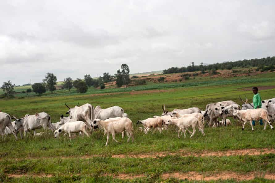 Fulani cattle graze in the surrounding area of the Nghar Village