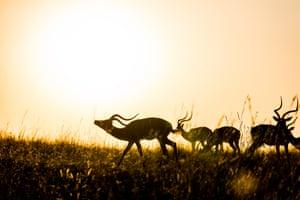 A group of male impalas at sunrise in the Masai Mara, Kenya