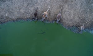 Kangaroos compete for the small amount of water which remains in the outfall at Lake Cawndilla near Menindee