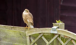 sparrowhawk on fence in front of dark shed