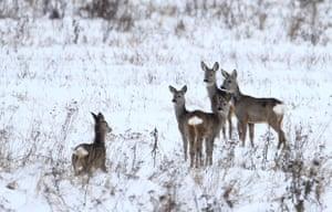 Roe deer in Belarus