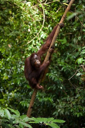 Conservationists predict orangutan numbers could fall at least another 45,000 in the next 35 years.