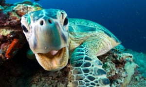 Thanks to Blue Planet II, we now know more about creatures such as this endangered Green Turtle.