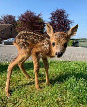 The roe fawn. He should be released in the autumn