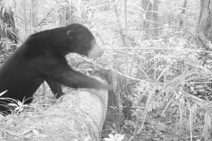 A sun bear climbs over a fallen tree