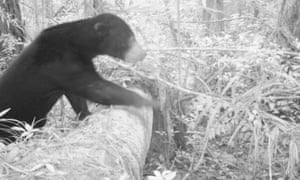 A sun bear makes its way over a fallen tree. This species is listed as vulnerable.