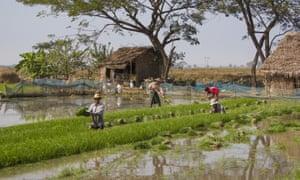 Rice fields in Mon province, Myanmar