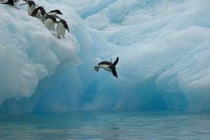 Adelie penguins dive off an iceberg in Antarctica
