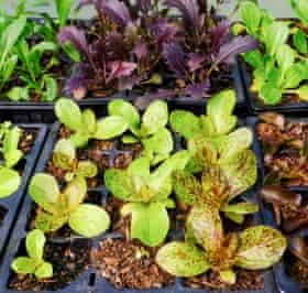 Lettuce seedlings.