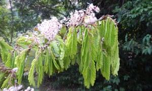 Flowers of Talbotiella cheekii, a canopy rainforest tree, found in Guinea.