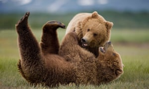 Grizzly bears at Katmai National Park in Alaska.