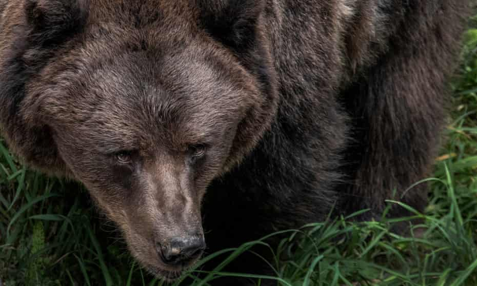 Issues with the neighbours ... a brown bear at park in Trentino, northern Italy.