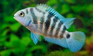Lovelorn Fish Have Gloomier Outlook Study Finds Science