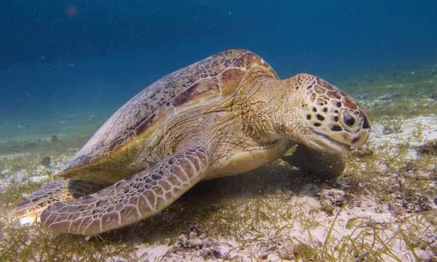 A turtle in the waters off Derawan Island.