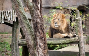 The male lion is called Bhanu