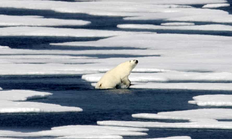 A polar bear in the Canadian Arctic archipelago