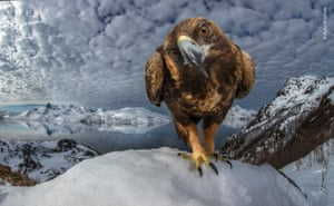 Inquisitive by Audan Rikardsen (Norway). A golden eagle perches along the coast