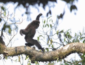 A new gibbon species has been discovered in China's Yunnan Province. The white-browed Hoolock Gibbon lives on the Gaoligong Mountain.
