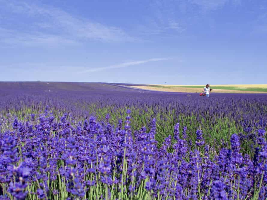 Hitchin Lavender; field of lavender in Hitchin, UK on a sunny day.