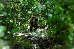A jaguar that was struck by a car in June is pictured after being released at the Sian Ka'an Biosphere