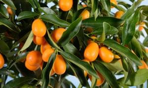 Kumquat Fortunella margarita
