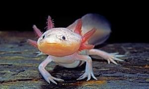 The axolotl recently won a contest for an emoji to represent Mexico city