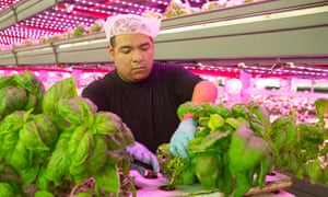 Indoor agriculture is an increasingly popular form of crop cultivation that happens inside. Where traditional farms rely on irrigation systems, soil and sunlight, indoor farms use LEDs or high pressure sodium lamps, and grow in hydroponic or aeroponic systems.