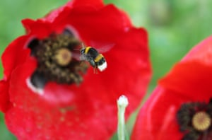 A bumblebee approaches a poppy in Cologne, Germany