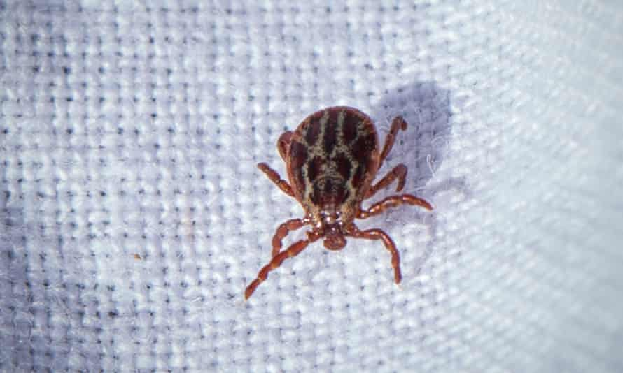 One of the ticks that have been infecting dogs in the Harlow area