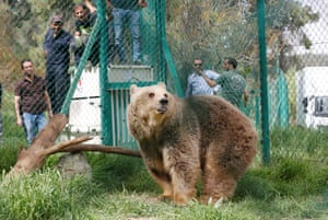Lola the bear, one of two surviving animals in Mosul's zoo, along with Simba the lion, is photographed at an enclosure after arriving at an animal rehabilitation shelter in Jordan.