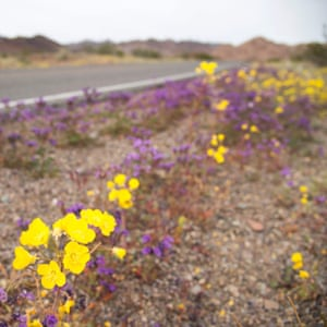 Golden evening primrose and purple notch-leaf phacelia