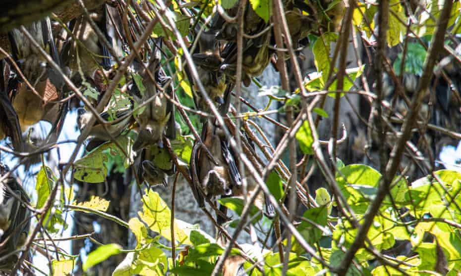 Straw-coloured fruit bats at Kasanka national park