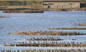 migrating golden plovers at Rye Harbour, with birdwatching hide