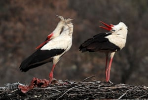 Storks stand in their nest in Kizilcahamam, outside  the Turkish capital of Ankara.