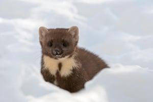 A European pine marten hunts in the snow in Scotland