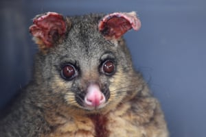 Sydney, AustraliaA brushtail possum whose ears and legs have been burnt in the recent bushfires sits in a cage before being transported to a wildlife hospital, in Batemans Bay.