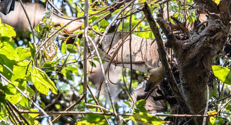 Fruit bat in tree