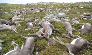 In August 2016, 323 wild tundra reindeer were killed in a freak lightning event on Norway's Hardangervidda plateau.