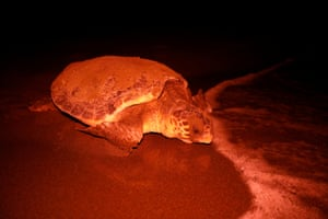 A sea turtle returns to the sea after laying eggs at Iztuzu beach.