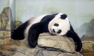 Giant panda Mei Xiang sleeps indoors at Smithsonian's National Zoological Park in Washington.