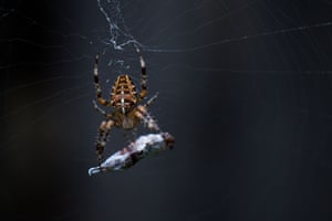 An araneus spider works on its prey in a web in Dresden, eastern Germany