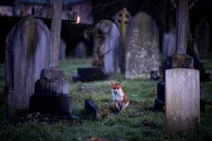 A fox walks sits in a cemetery at dusk in Bath, England