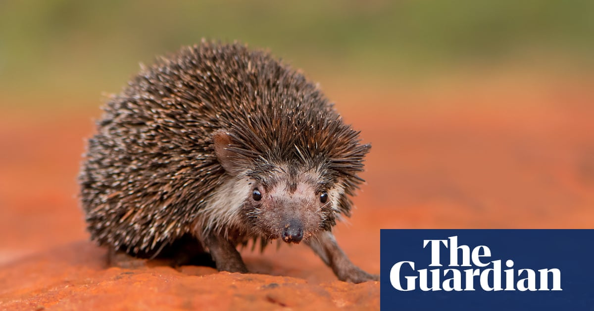 'A kind of rat with thorns': the comic book busting myths about the Madras hedgehog