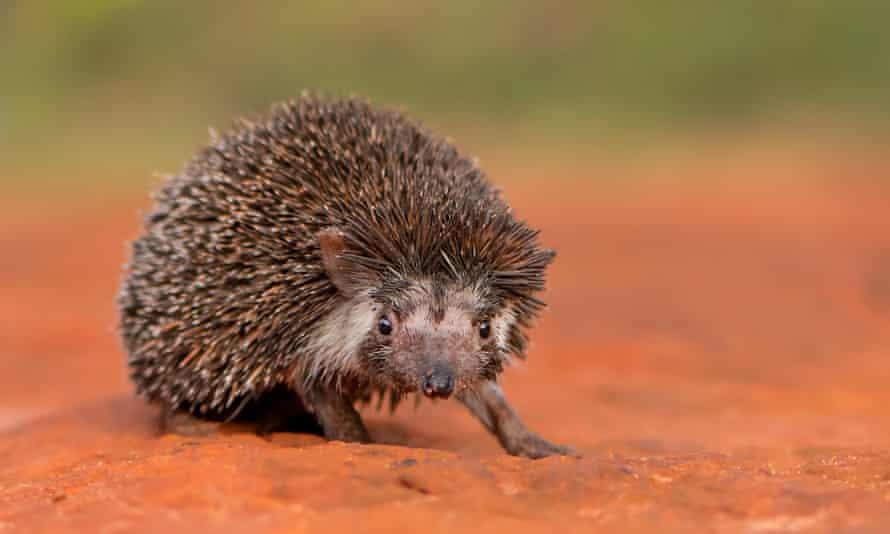 Madras hedgehog