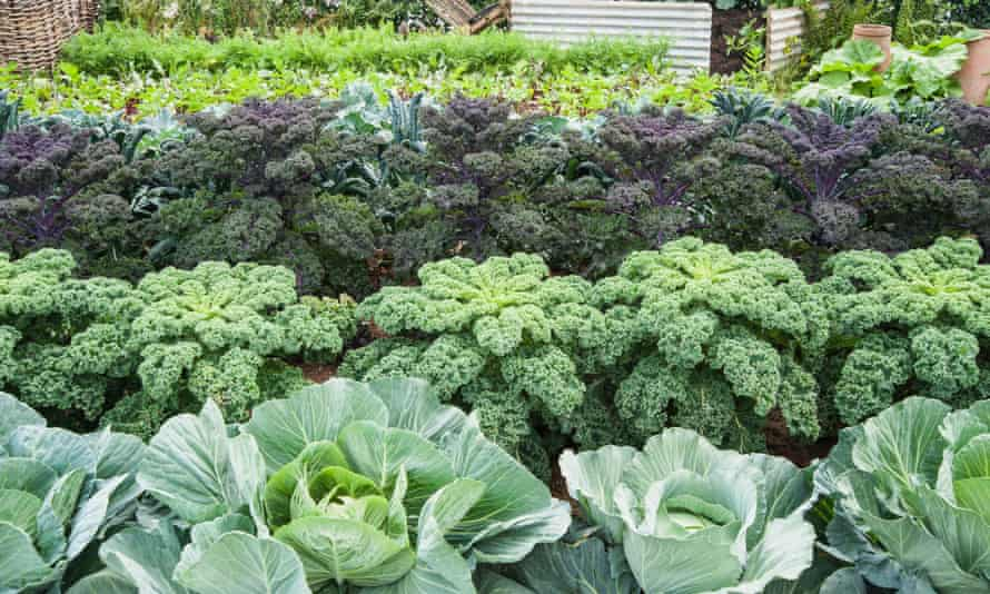 Rows of cabbages and kale