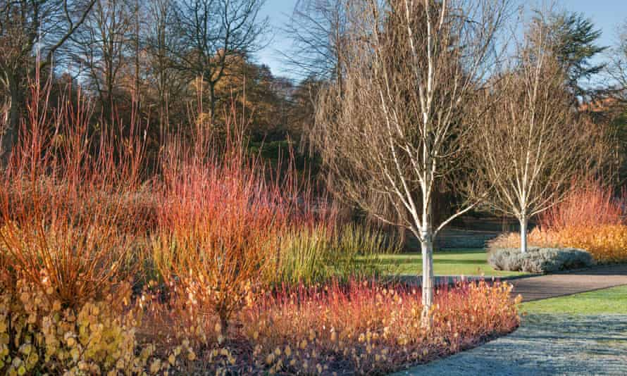 Stems of dogwood 'Midwinter Fire', red osier dogwood and scarlet willow surround west Himalayan birch.