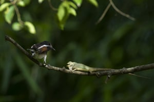 A female oriental magpie robin fighting with a garden lizard at the Hlawga national park in Mingaladon, Myanmar