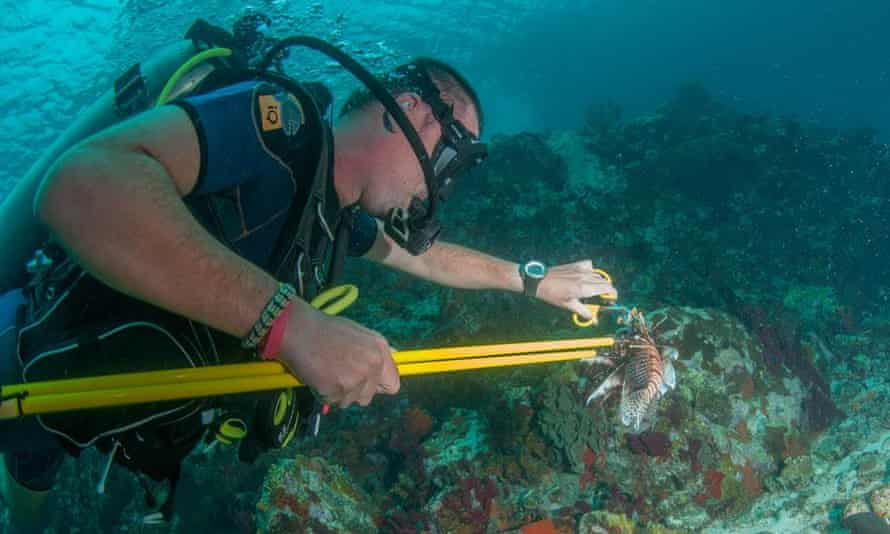 Some hunters remove the spines underwater, as even if the fish is dead, its venom is not. If the spines puncture flesh, the pressure causes venom to move from glands along the spine, via ducts, into the victim's flesh.