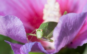 A grasshopper sits in the blossom of a hibiscus in Ludwigsburg, south-west Germany