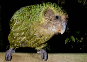 Sirocco the kakapo.